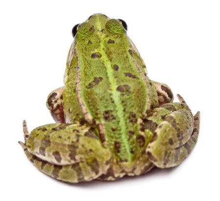 esculenta: Common European frog or Edible Frog, Rana esculenta, in front of white background Stock Photo