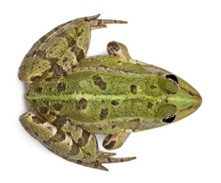 sapo: Vista de �ngulo alto de la rana com�n europeo o la rana comestible, Rana esculenta, delante de fondo blanco Foto de archivo
