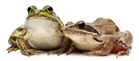 rana arvalis: Common European frog or Edible Frog, Rana esculenta, and a Moor Frog, Rana arvalis, in front of white background Stock Photo