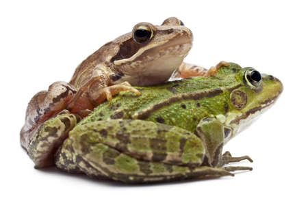 Common European frog or Edible Frog, Rana esculenta, and a Moor Frog, Rana arvalis, in front of white background Stock Photo - 11183320