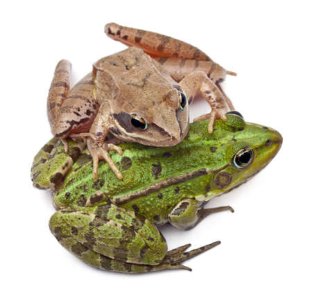 Common European frog or Edible Frog, Rana esculenta, and a Moor Frog, Rana arvalis, in front of white background Stock Photo - 11183323