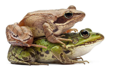 Common European frog or Edible Frog, Rana esculenta, and a Moor Frog, Rana arvalis, in front of white background Stock Photo - 11183395