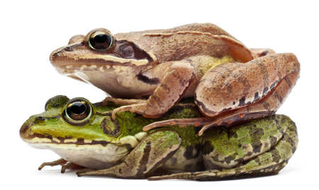 Common European frog or Edible Frog, Rana esculenta, and a Moor Frog, Rana arvalis, in front of white background Stock Photo - 11183688