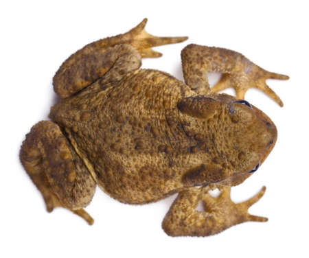 High angle view of Common toad or European toad, Bufo bufo, in front of white background photo