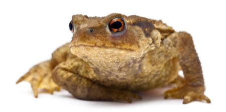 Common toad or European toad, Bufo bufo, in front of white background photo