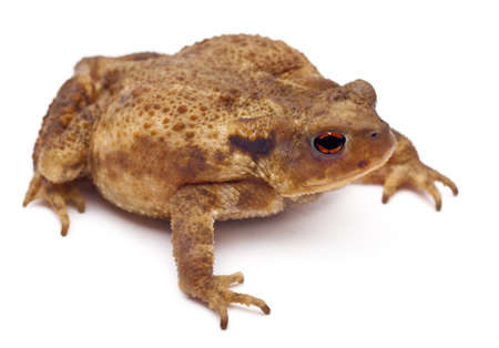 bufo bufo: Common toad or European toad, Bufo bufo, in front of white background