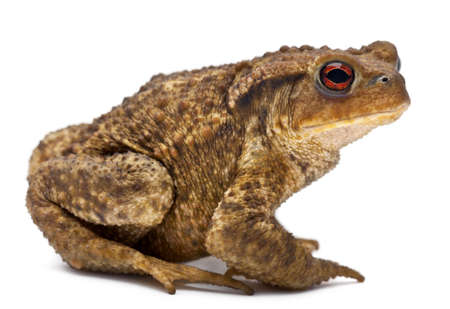 bufo bufo: Common toad, bufo bufo, in front of white background