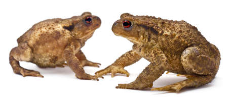 Two common toads or European toads, Bufo bufo, facing each other in front of white background photo