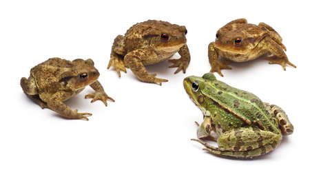 four species: Common European frog or Edible Frog, Rana kl. Esculenta, facing common toads or European toads, Bufo bufo, in front of white background Stock Photo