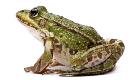 grenouille: Commune grenouille européenne ou grenouille comestible, Rana kl. Esculenta, en face de fond blanc Banque d'images