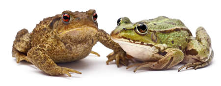bufo bufo: Common European frog or Edible Frog, Rana kl. Esculenta, next to  common toad or European toad, Bufo bufo, in front of white background Stock Photo