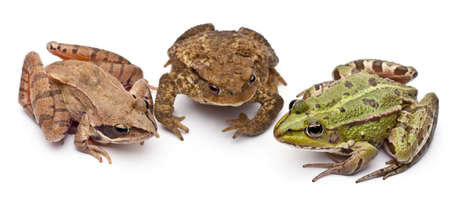 rana arvalis: Common European frog or Edible Frog, Rana kl. Esculenta, next to a common toads or European toad. Bufo bufo, and a Moor Frog, Rana arvalis, in front of white background Stock Photo