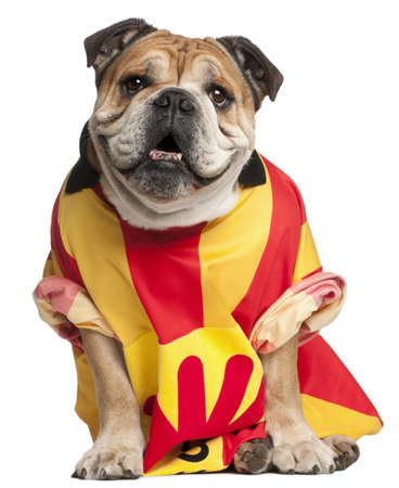 English Bulldog dressed in a football jersey in front of white background photo