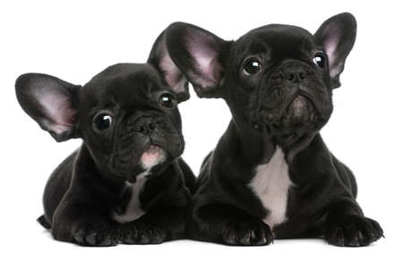french bulldog puppy: Two French Bulldogs puppies, 8 weeks old, in front of white background