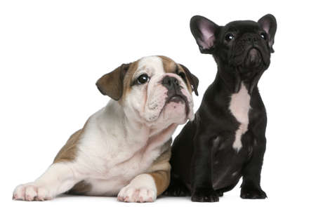 French Bulldog puppy and English Bulldog puppy, 8 weeks old, looking up in front of white background photo