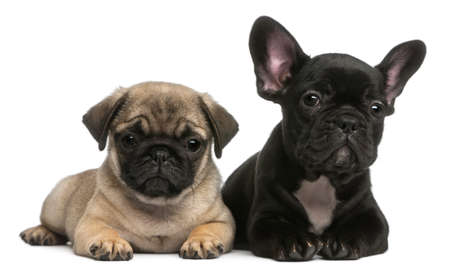 french bulldog: Pug puppy and French Bulldog puppy, 8 weeks old, in front of white background Stock Photo