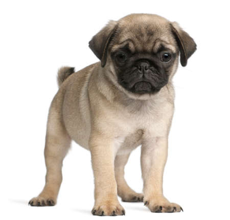 pug puppy: Pug, 8 weeks old, standing in front of white background Stock Photo