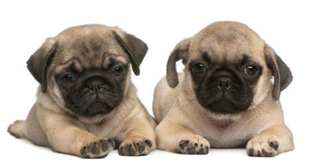 pug puppy: Two Pug puppies, 8 weeks old, in front of white background