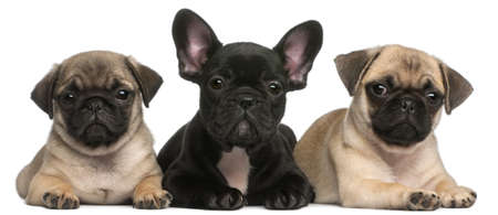 black pug: French Bulldog puppy between two Pug puppies, 8 weeks old, in front of white background Stock Photo