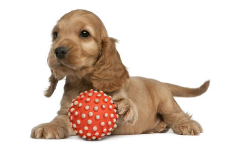 English Cocker Spaniel playing with a ball, 8 weeks old, in front of white background photo