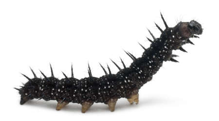 Caterpillar of a Peacock butterfly, Inachis io, in front of white background photo