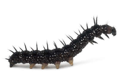 inachis: Caterpillar of a Peacock butterfly, Inachis io, in front of white background