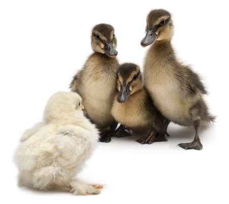 four species: Three Mallards or wild ducks, Anas platyrhynchos, 3 weeks old, facing a chick in front of white background