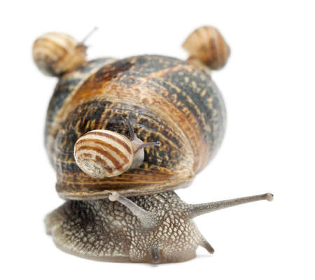 four species: Garden snail with its babies on its shell in front of white background Stock Photo
