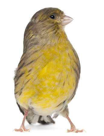 wild canary: Atlantic Canary, Serinus canaria, 2 years old, in front of white background Stock Photo
