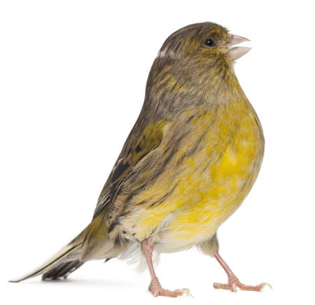 bird view: Atlantic Canary, Serinus canaria, 2 years old, in front of white background Stock Photo