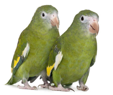White-winged Parakeets, Brotogeris versicolurus, 5 years old, in front of white background Stock Photo - 11184690