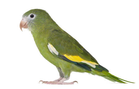 White-winged Parakeet, Brotogeris versicolurus, 5 years old, in front of white background photo