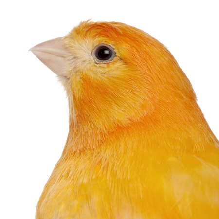 wild canary: Close-up of Canary, Serinus canaria domestica, 2 years old, in front of white background
