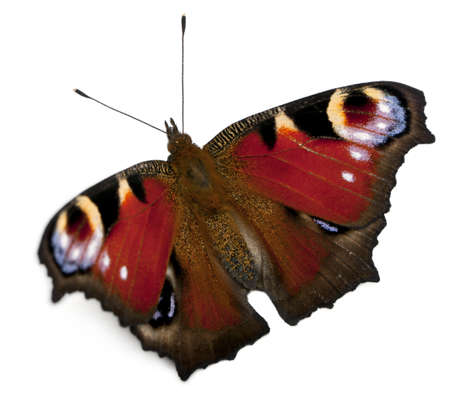inachis: European Peacock moth, Inachis io, in front of white background Stock Photo