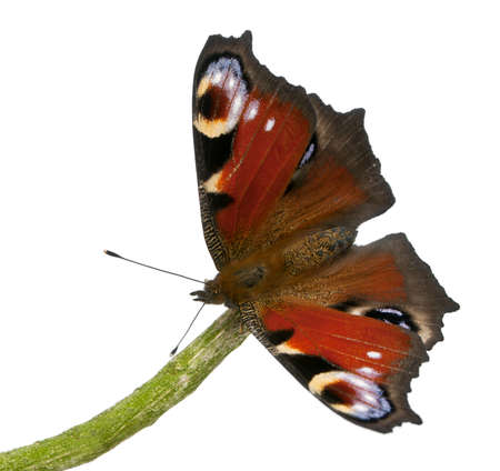 inachis: European Peacock moth, Inachis io, on a branch in front of white background
