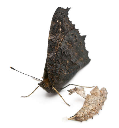 inachis: European Peacock moth, Inachis io, next to its cocoon in front of white background