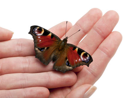 inachis: European Peacock moth, Inachis io, on a hand in front of white background