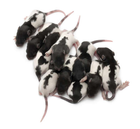 High angle view of a group of Fancy rats babies sleeping in front of white background photo
