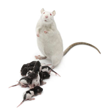 large family portrait: Fancy Rat next to its babies and looking at the camera in front of white background