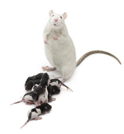 rata: Rata de lujo junto a sus bebés y mirando a la cámara delante de fondo blanco