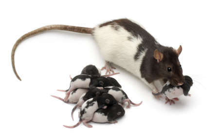 Fancy rat taking care of its babies in front of white background photo