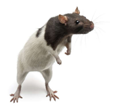 mouse animal: Fancy Rat standing up in front of white background
