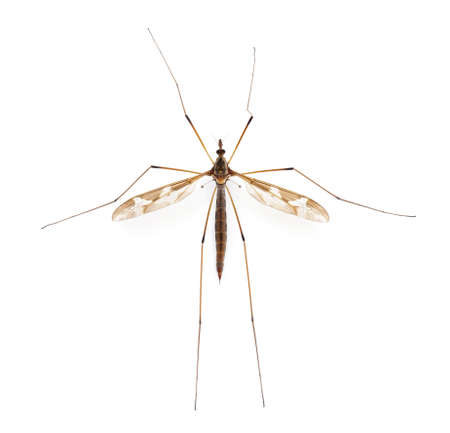 Crane fly or daddy long-legs, Tipula maxima, in front of white background photo