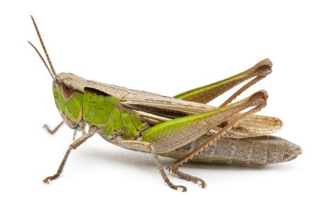 Cricket delante de fondo blanco Foto de archivo