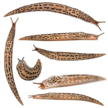 sluggish: Leopard slug - Limax maximus, in front of white background Stock Photo