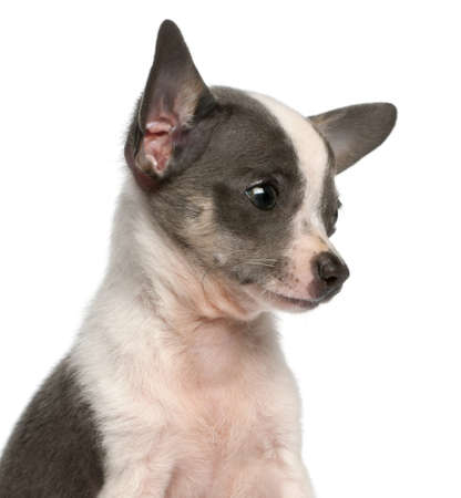 chihuahua 3 months old: Chihuahua puppy, 3 months old, headshot in front of white background