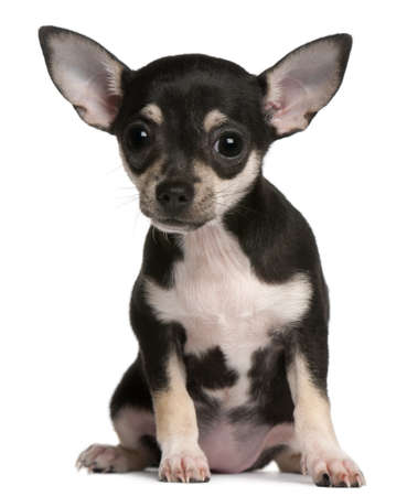 chihuahua puppy: Chihuahua puppy, 3 months old, sitting in front of white background
