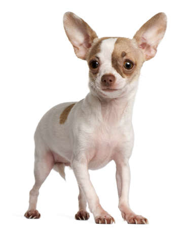 chihuahua 3 months old: Chihuahua puppy, 3 months old, standing in front of white background