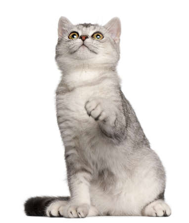 british shorthair: British Shorthair kitten, 4 months old, sitting in front of white background