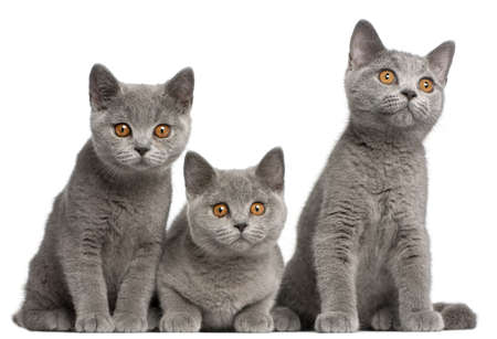 British Shorthair kittens, 3 months old, sitting in front of white background photo